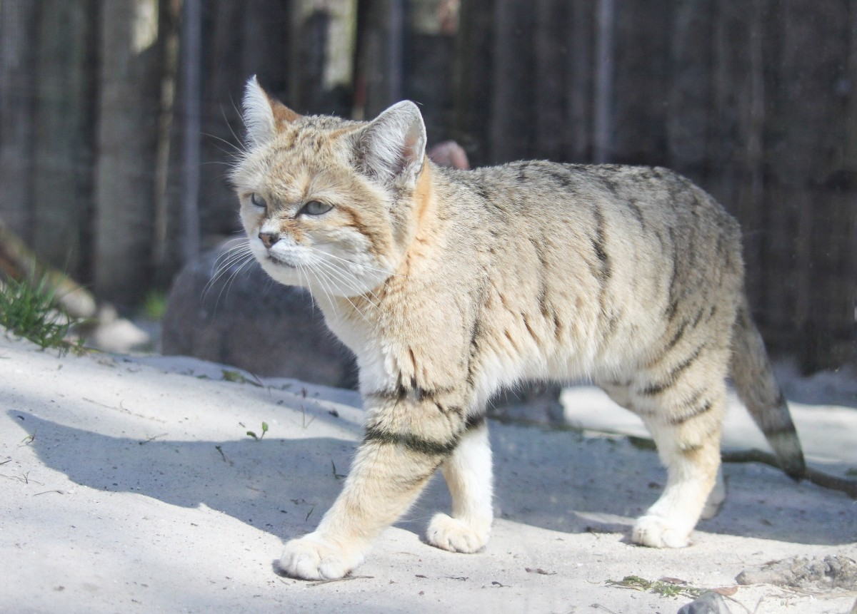 A captive sand cat in Denmark