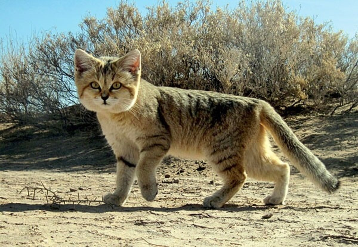 Felis margarita thinobia, a subspecies sometimes known as the Persian sand cat