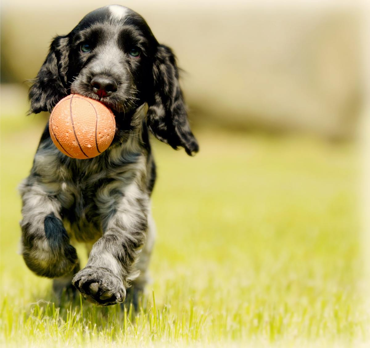 Thefts of Cocker Spaniels have risen by 93% in the UK