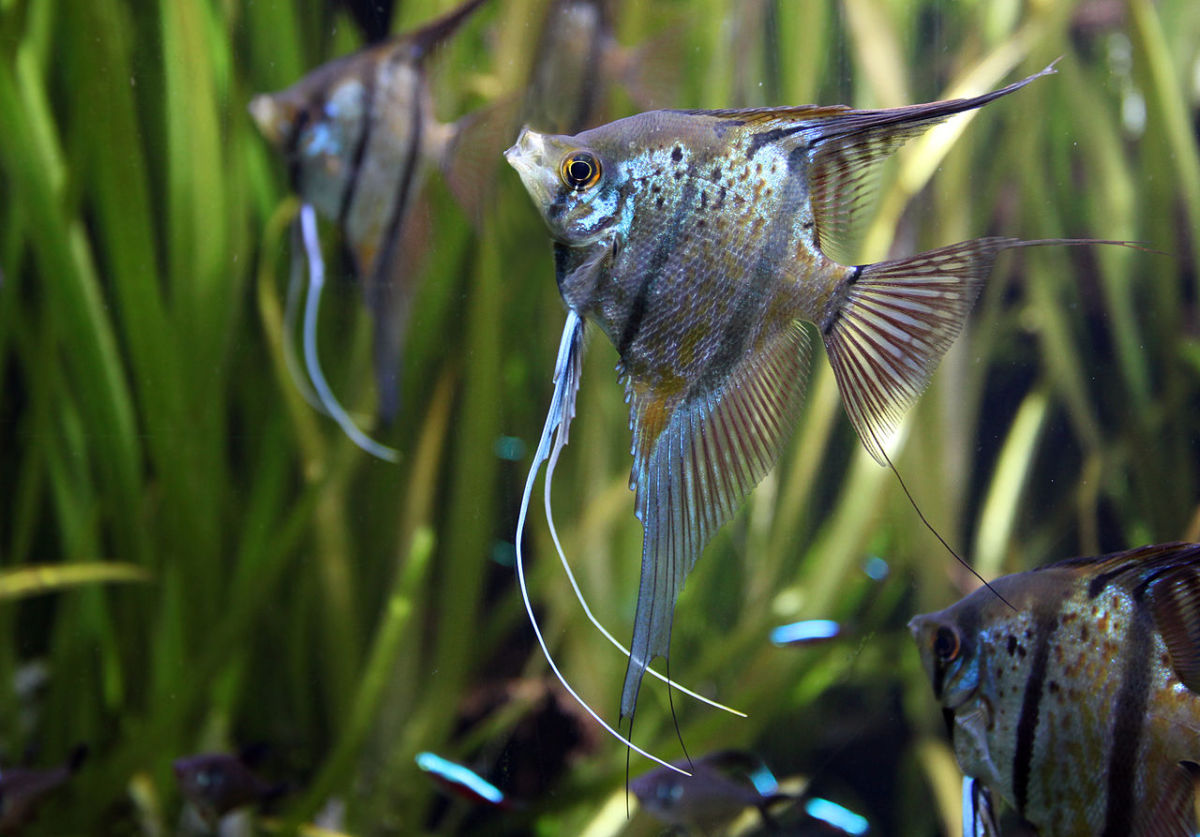 Most angelfish in the aquarium trade are bred from Pterophyllum scalare