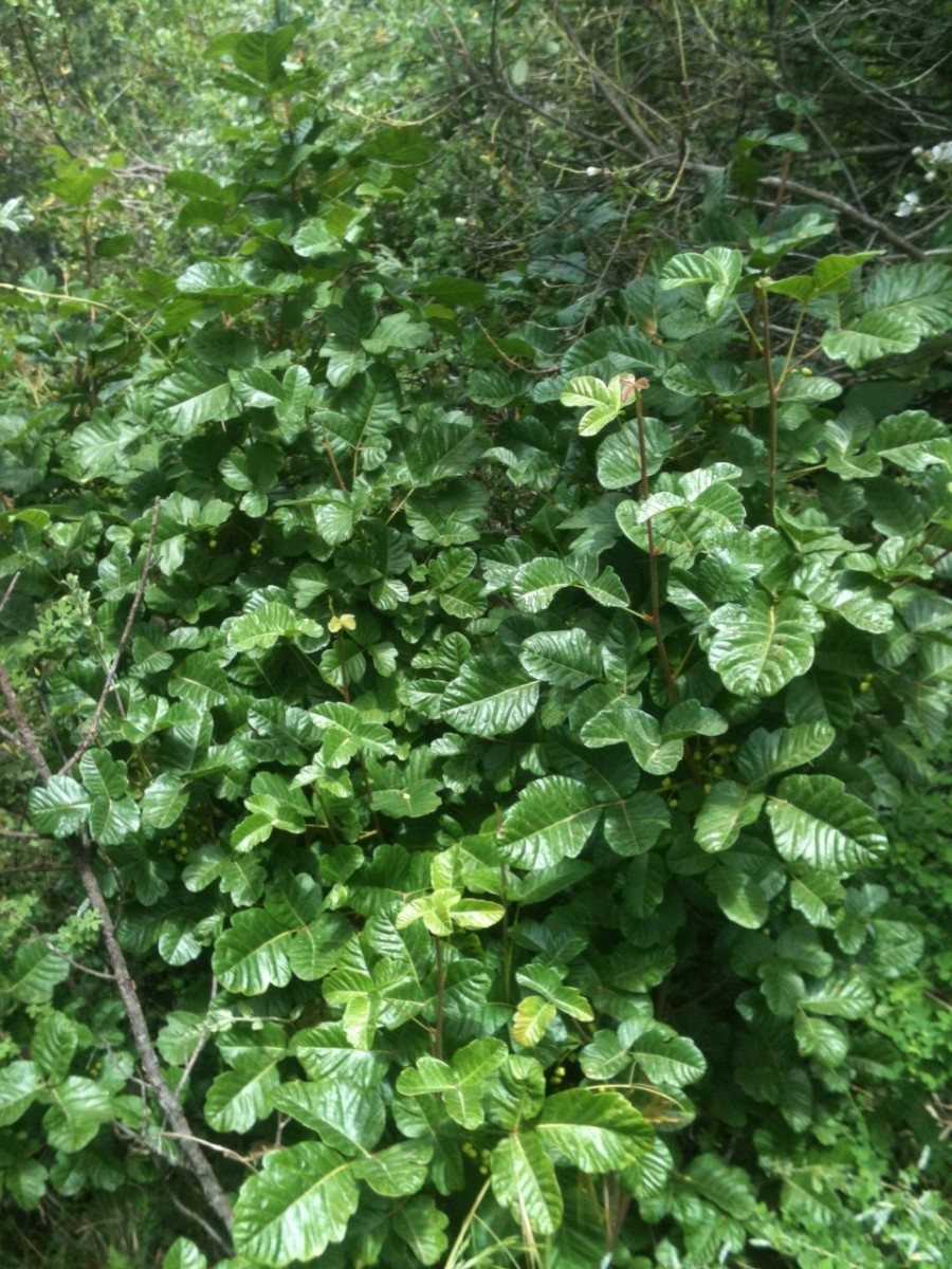 Poison Oak as a creeping 'ground cover'