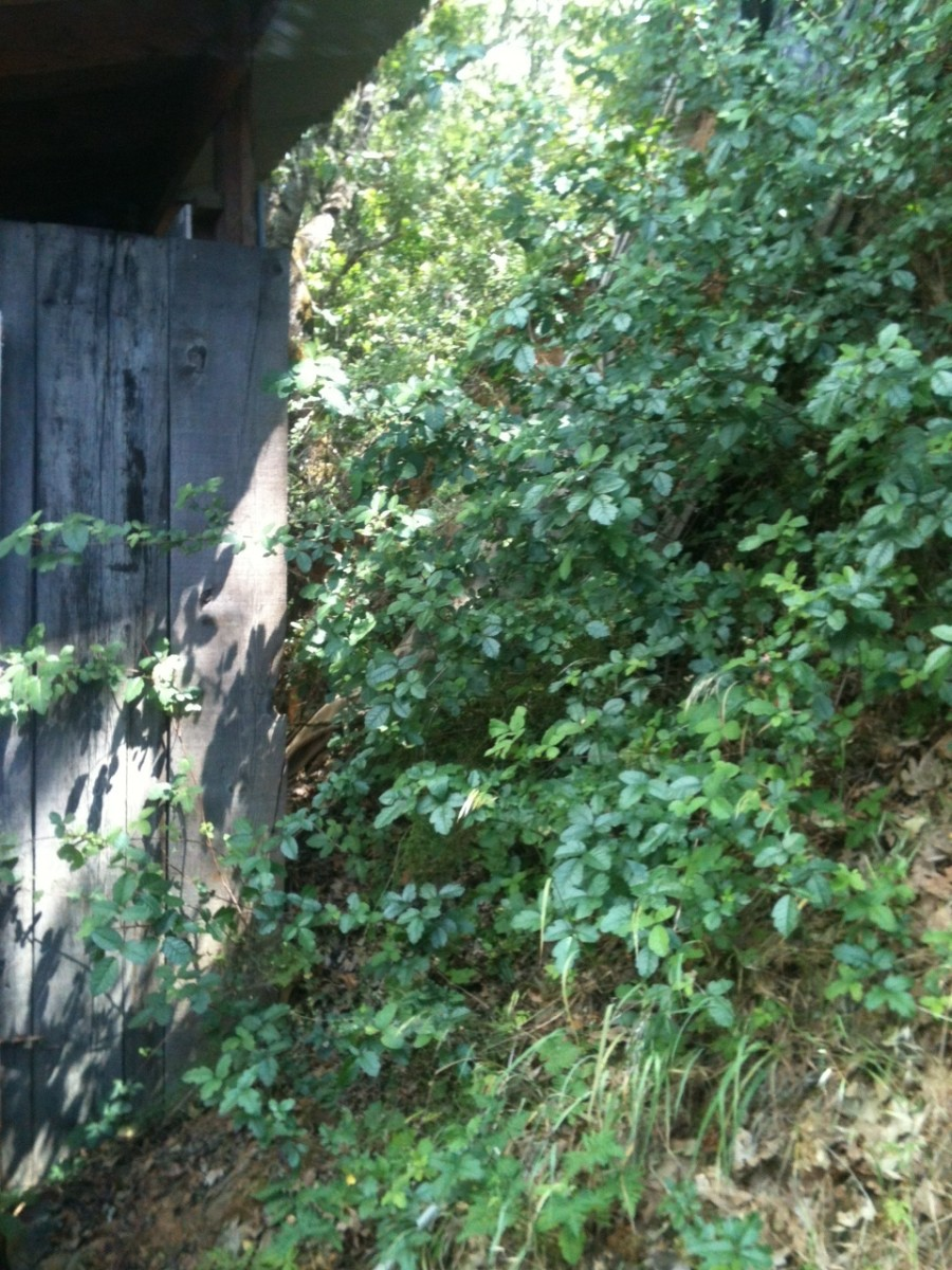 Poison Oak can crawl all over the place, on the ground or up trees, fences and walls