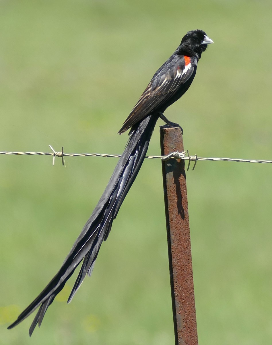 The long-tailed widowbird lives up to its morbid namesake—it is clad almost entirely in glossy, black feathers.