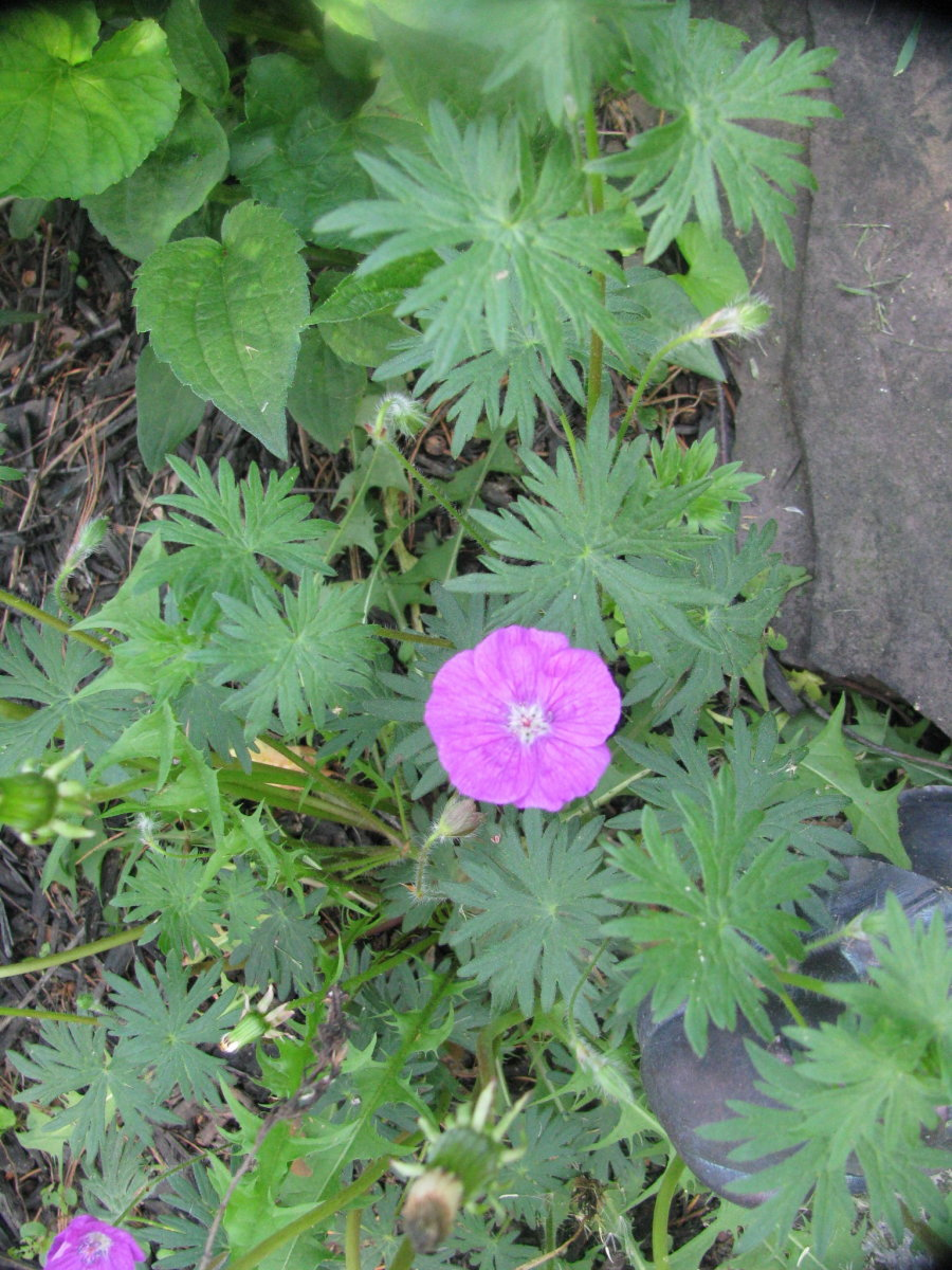 Cranesbill geranium just beginning to bloom, will be covered with those pink flowers