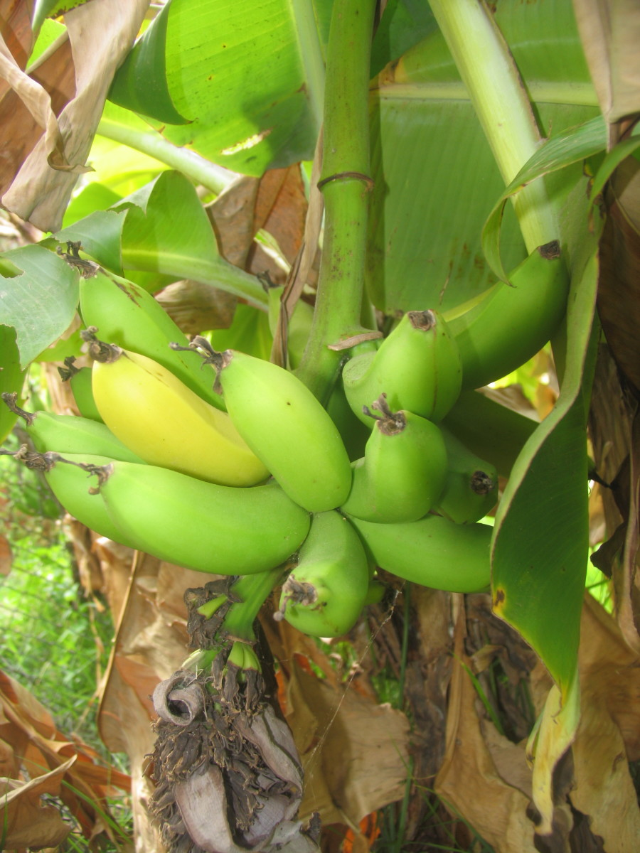 when-to-harvest-bananas