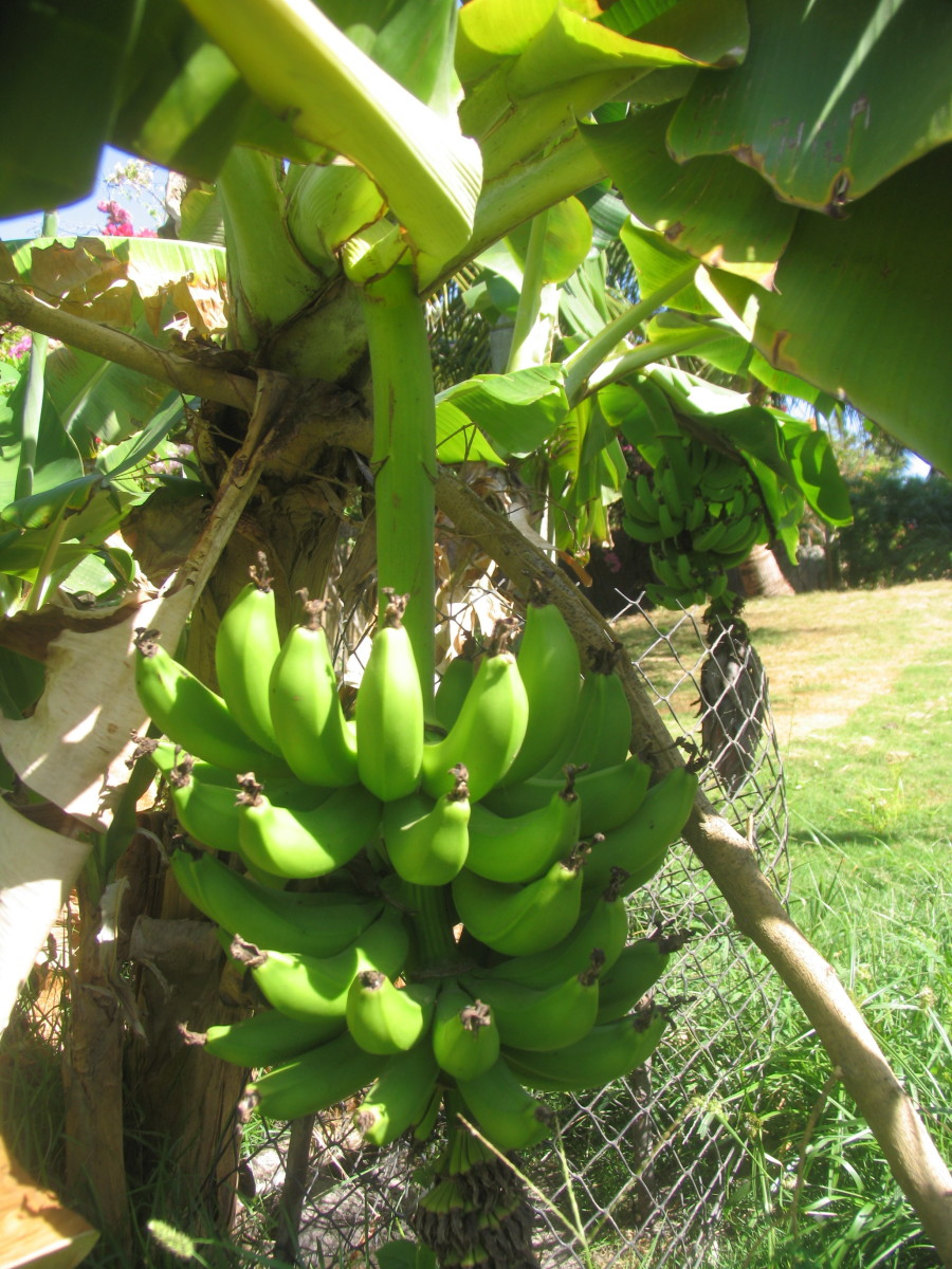 Supporting ripening bananas