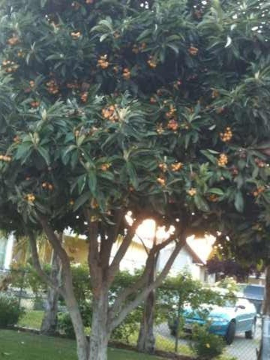 My neighbor's tree is about 20 feet tall! Look at all the luscious fruits!