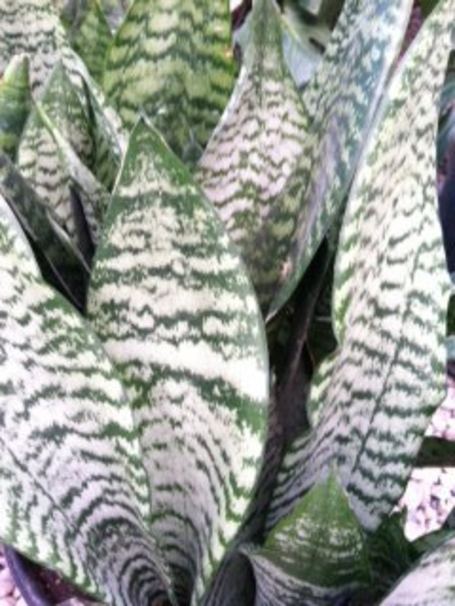 Sansevieria, a.k.a. Snake Plant