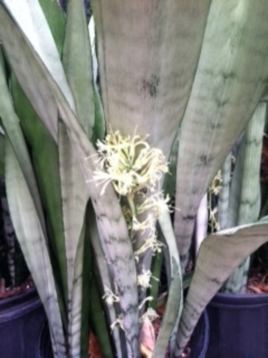 Remove Snake Plant Blooms