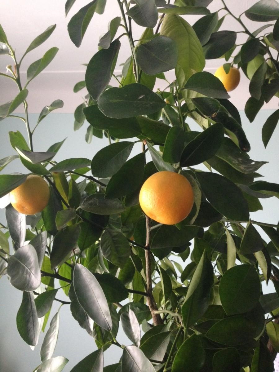 My dwarf calamondin orange tree.