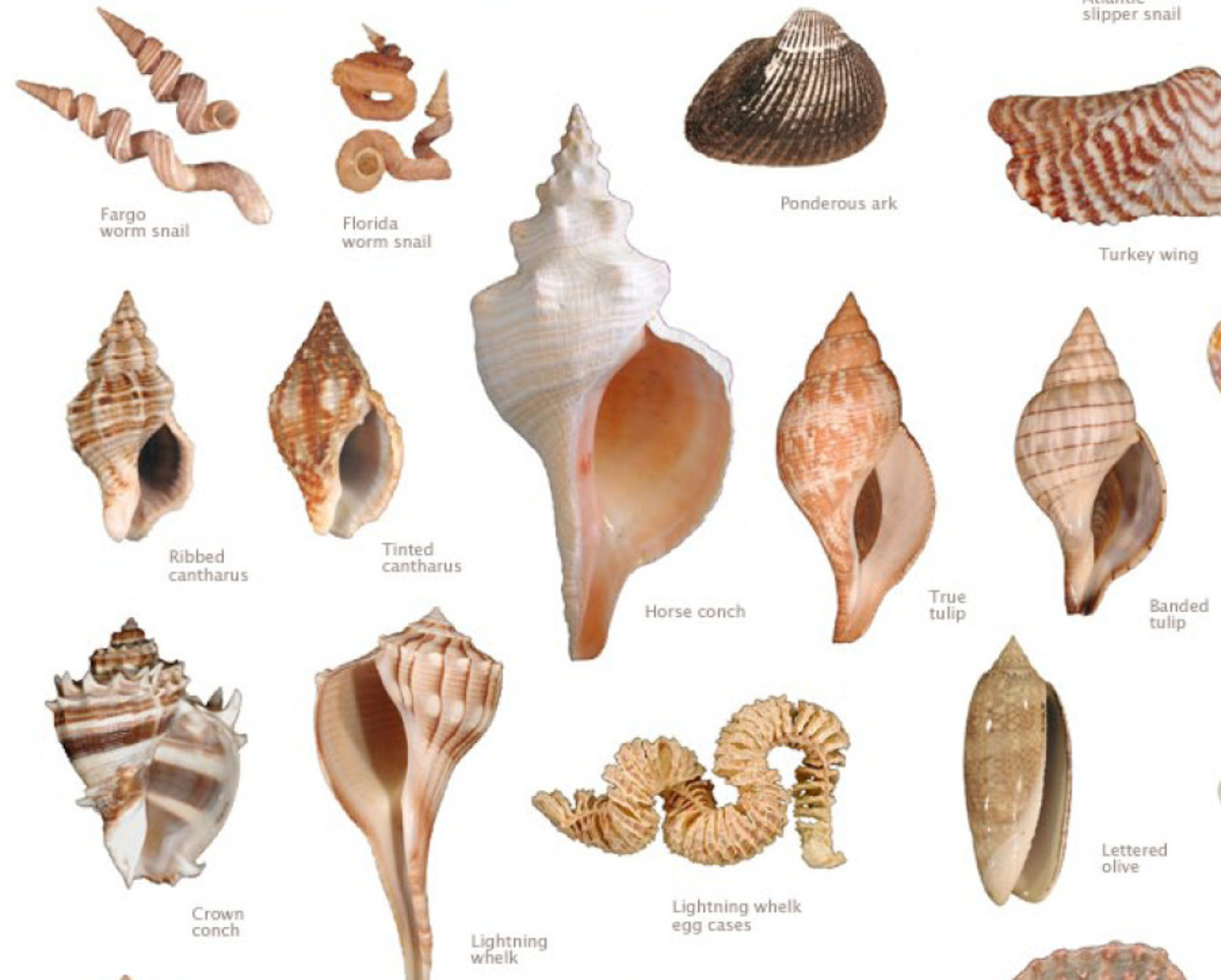 You can find all types of shells on the Florida western coast