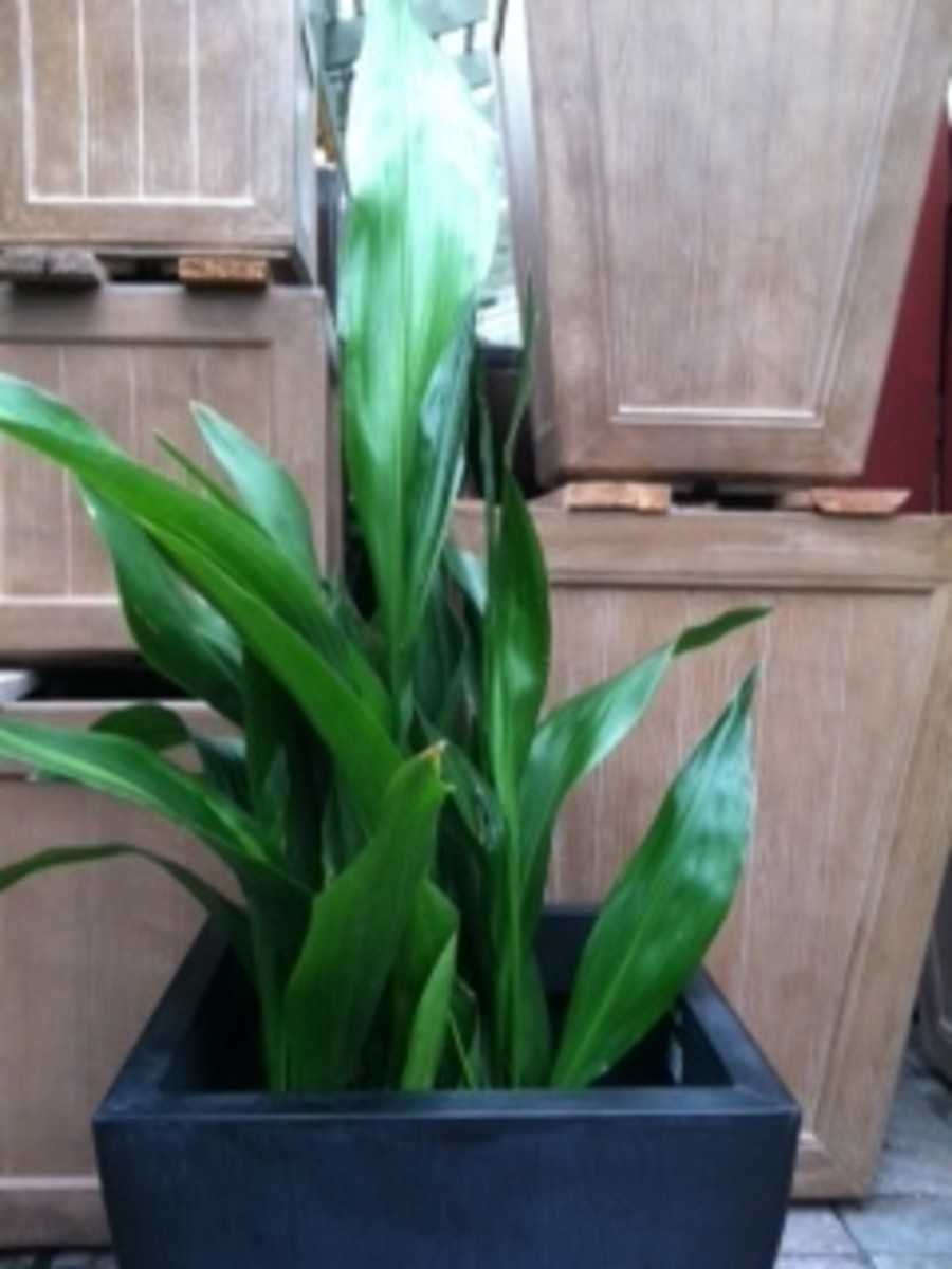 Houseplant Care for Aspidistra (Cast Iron Plant)