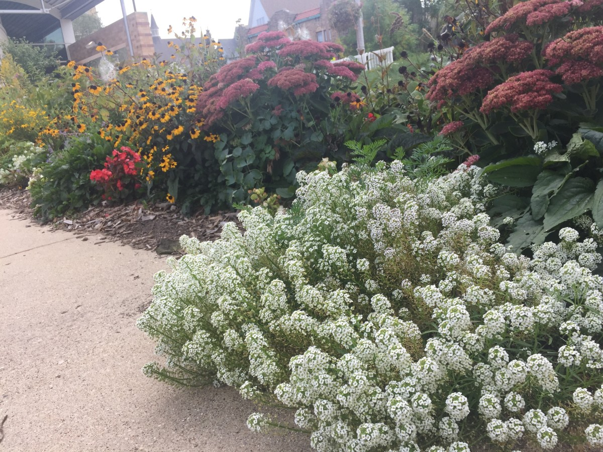 Sweet alyssum growing in front of 'autumn joy' sedum at the Bay View Milwaukee Public Library.
