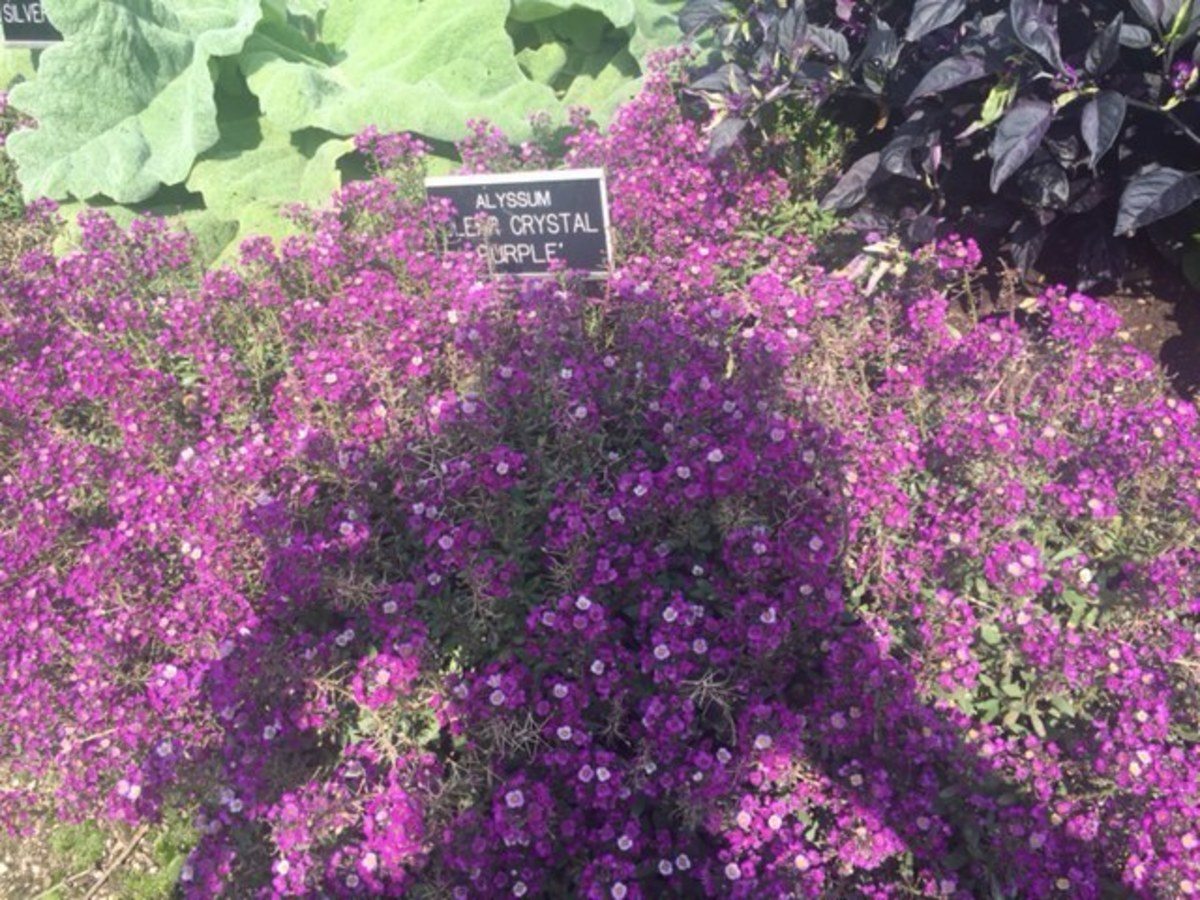 Alyssum 'Clear Crystal Purple' growing at the Boerner Botanical Gardens in Hales Corners, WI.