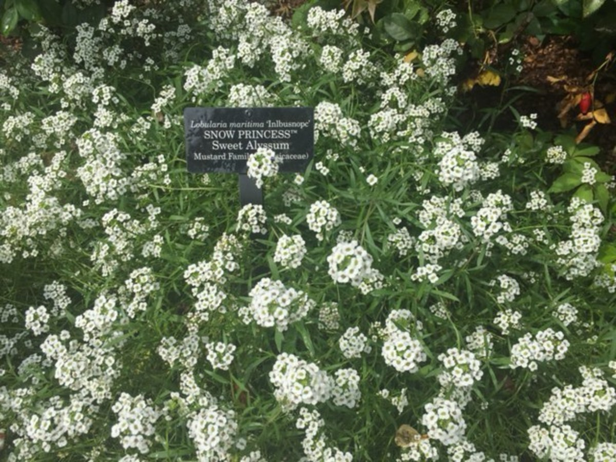 'Snow Princess' sweet alyssum at the Chicago Botanic Gardens.