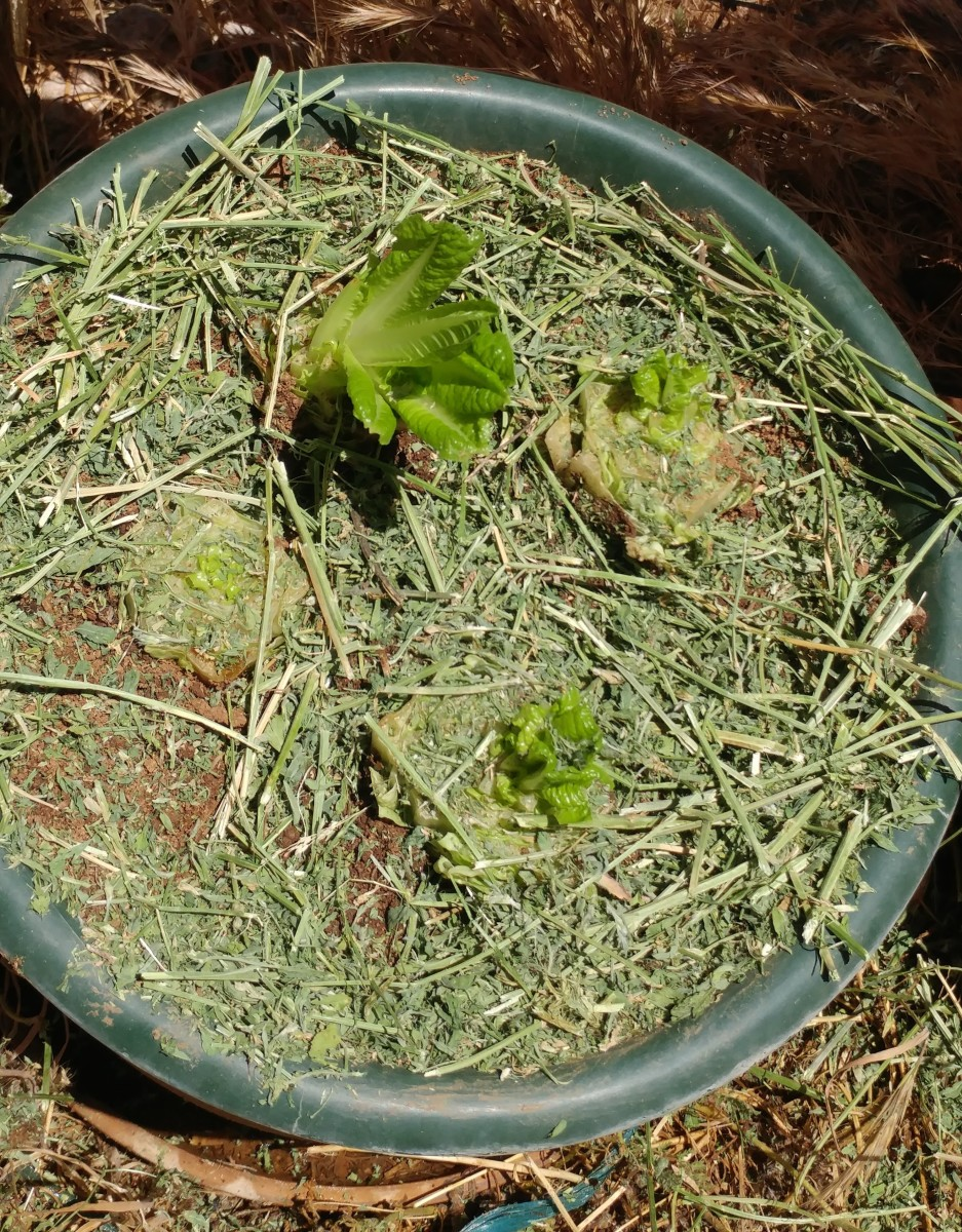Water the lettuce after planting and cover with mulch.