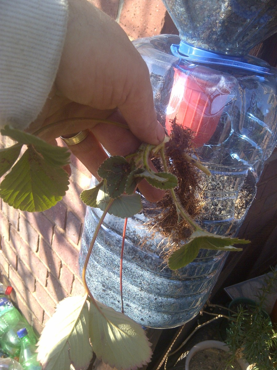 Shake off most soil from your strawberry plant before planting it.