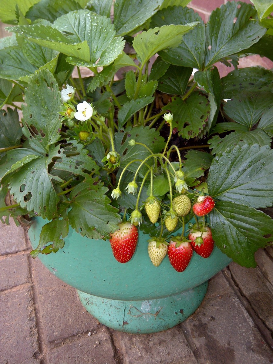 My first strawberry plant.