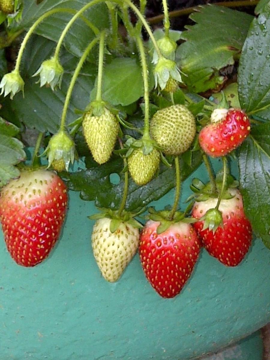 Original strawberry plant.