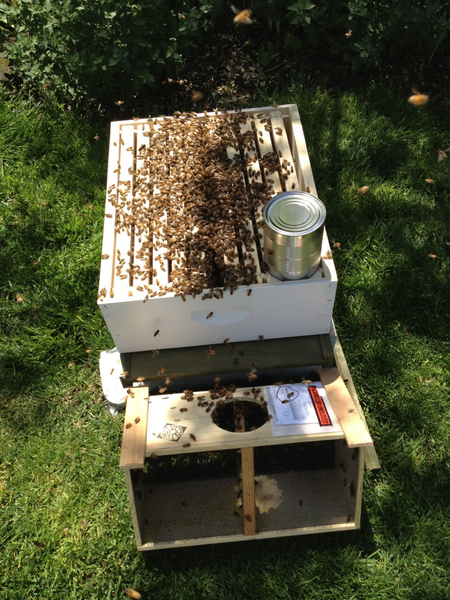 Leave bee box next to hive so any bees left in the box can go in the hive