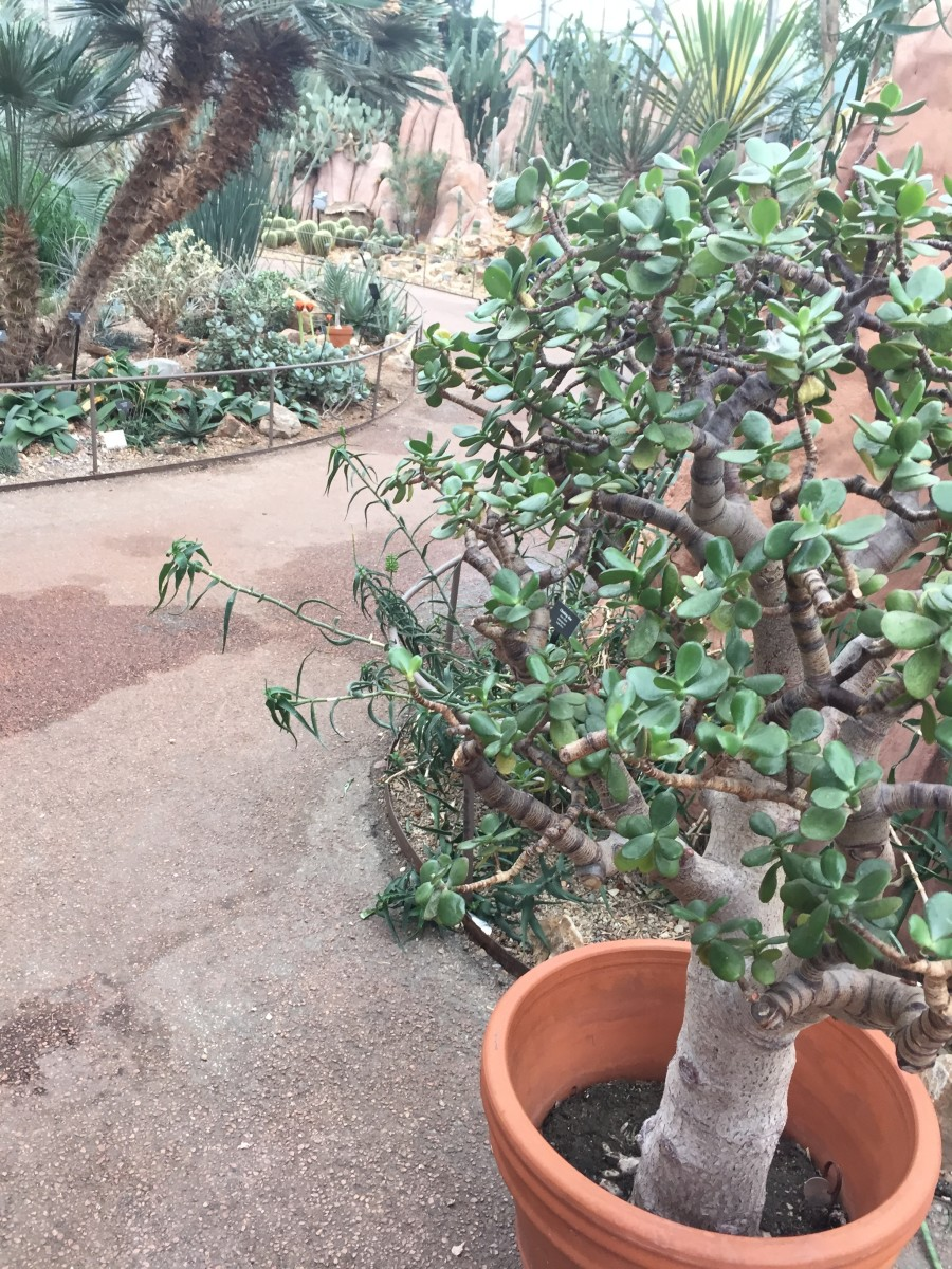 Jade Plants Types Care And Propagation Dengarden Home And Garden