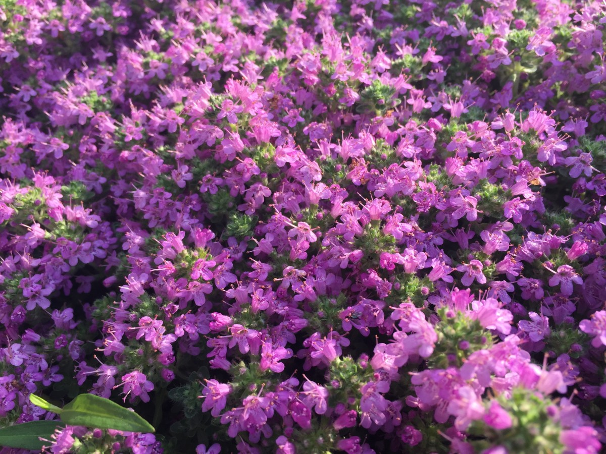 Creeping Thyme Ground Cover Types, Care, and Propagation ...