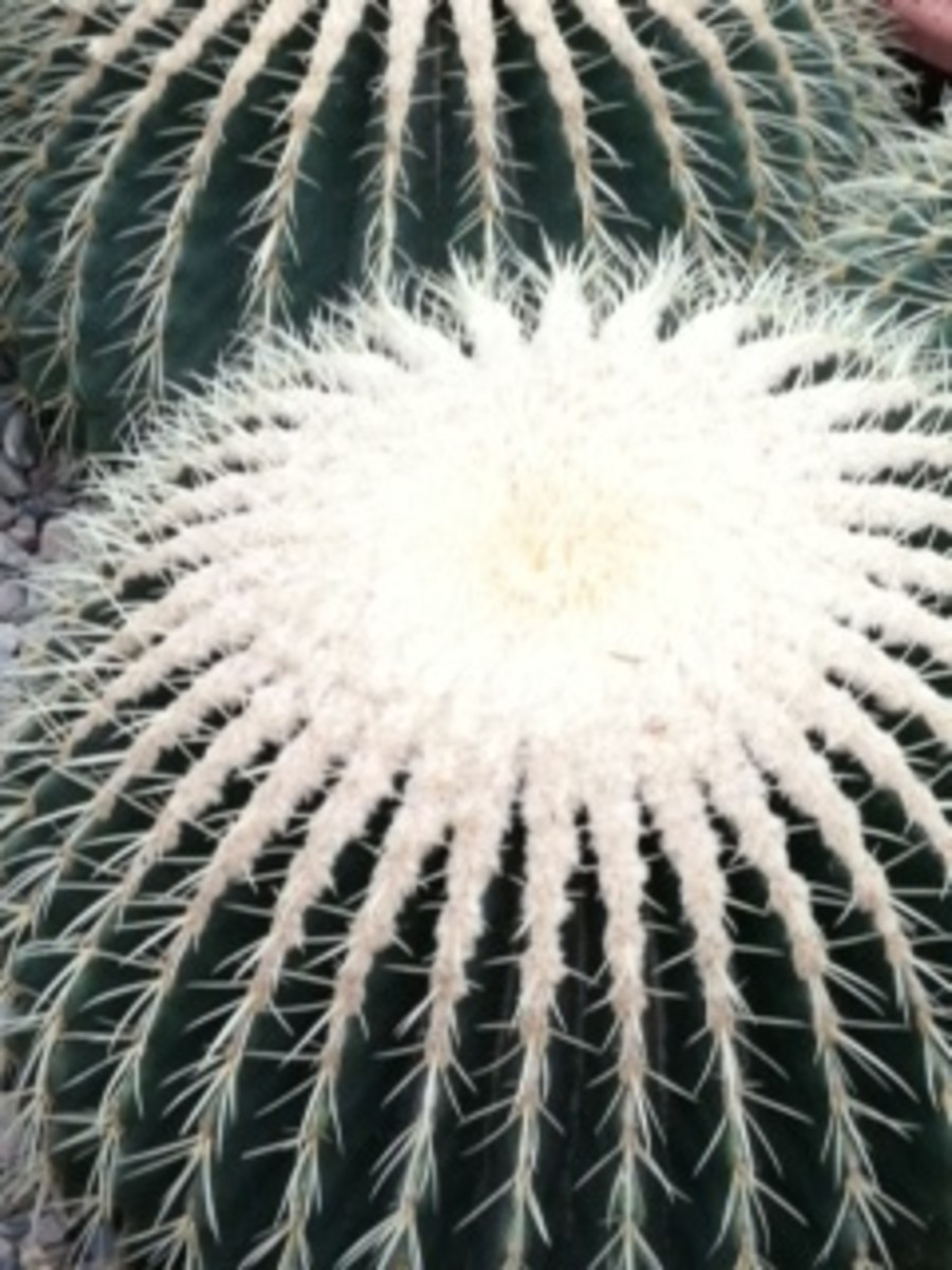 These cacti are beautiful.