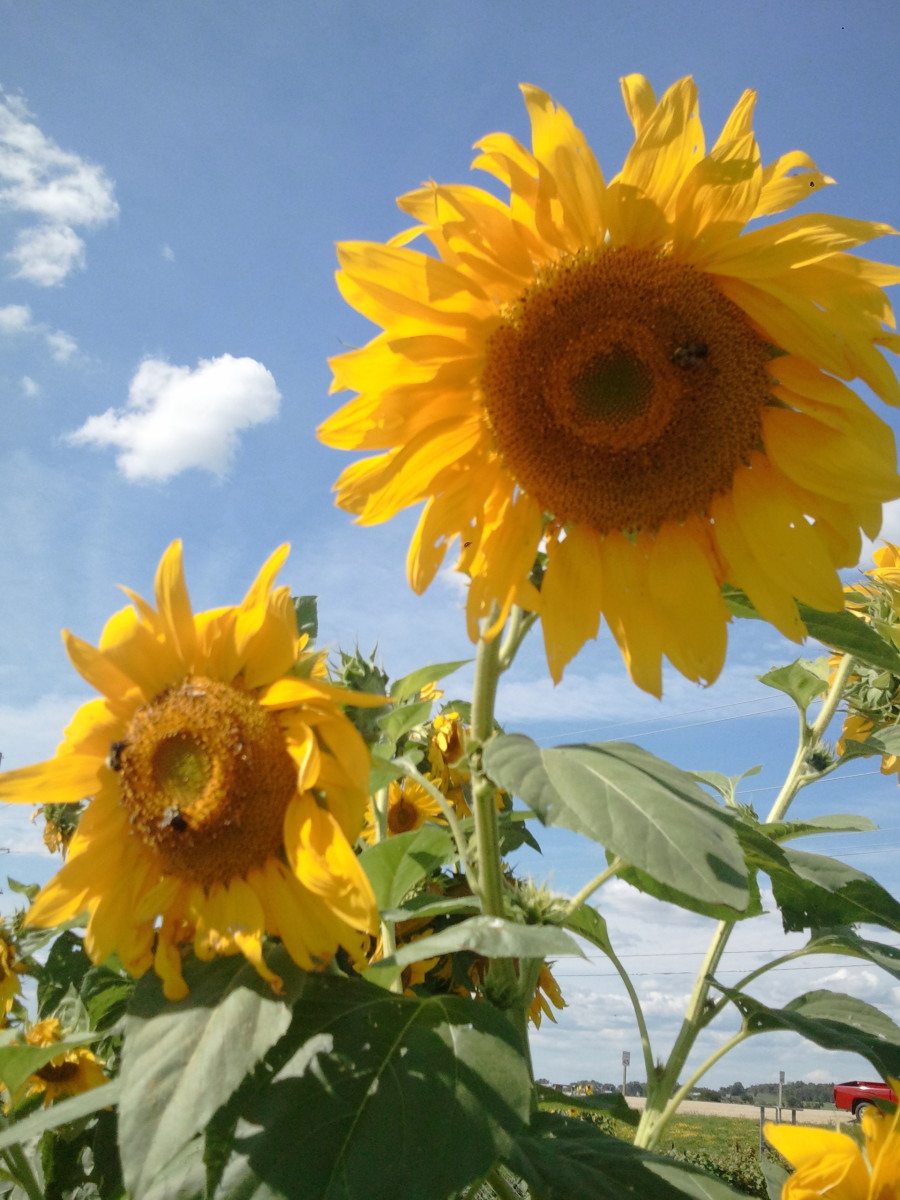 Sunflowers in bloom with a few bumble bees.