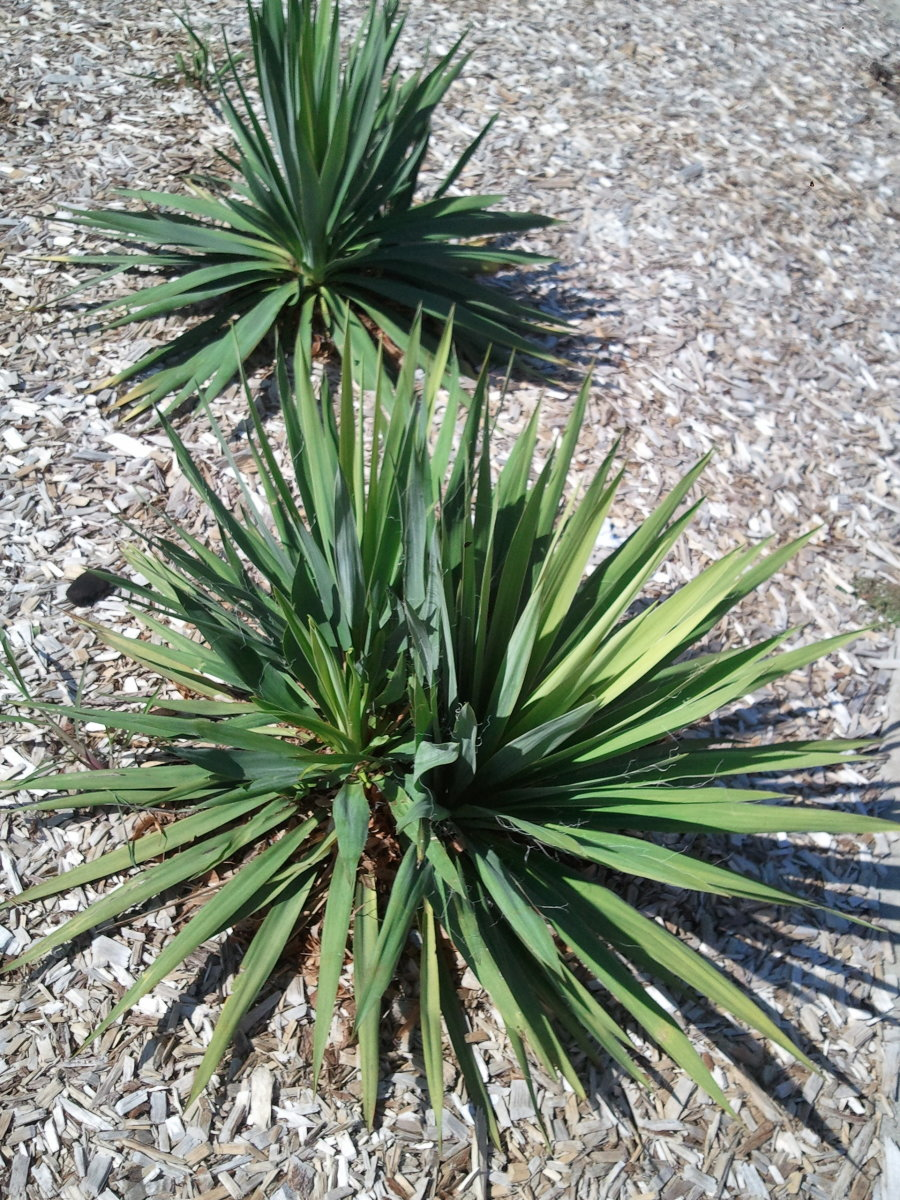 How to take care of a yucca plant dengarden for Yucca plante