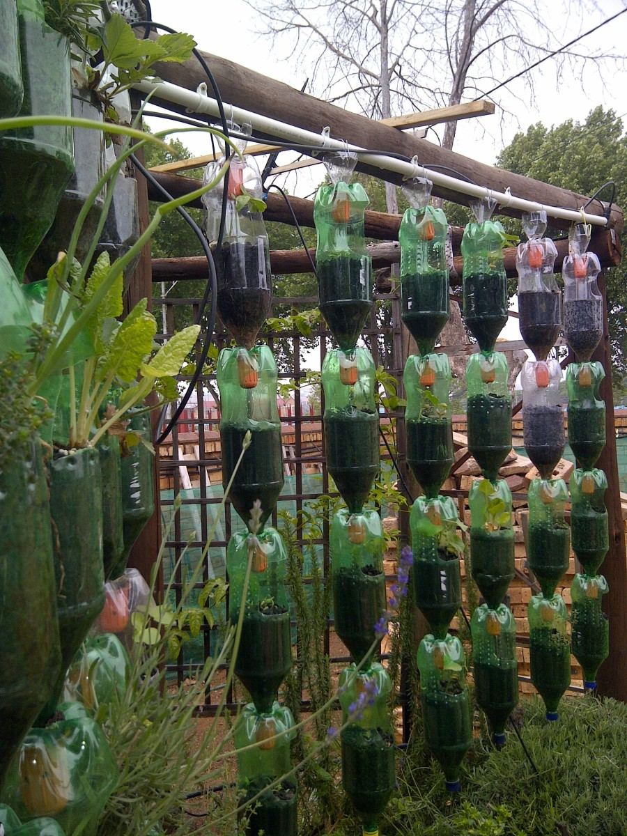 Here is my hanging garden on the left after one year, and most herbs are flourishing, and the bottles on the right is planted with beans and tomatoes. As we can see on the photo, the beans have just germinated and are growing well.