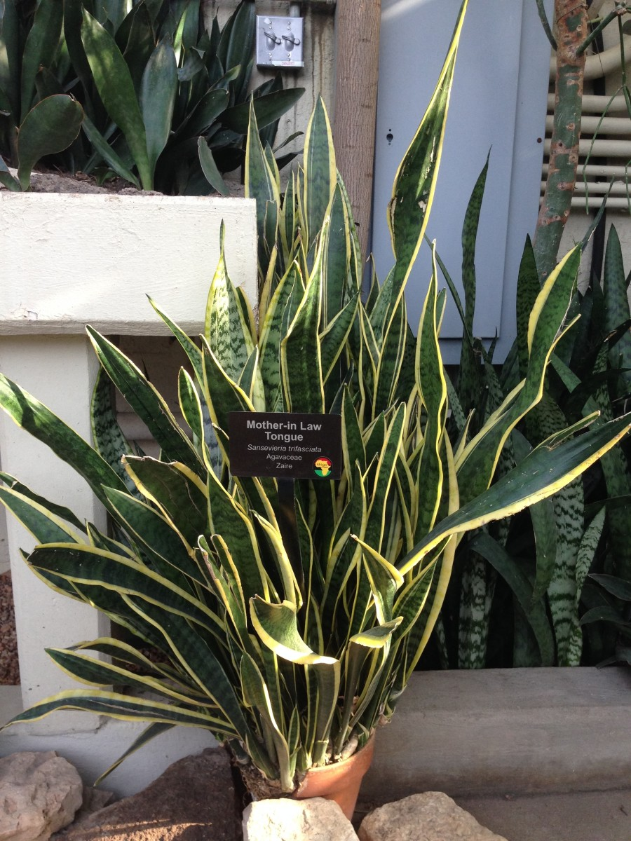 Saponins in the snake plant can cause gastrointestinal problems in both humans and pets.