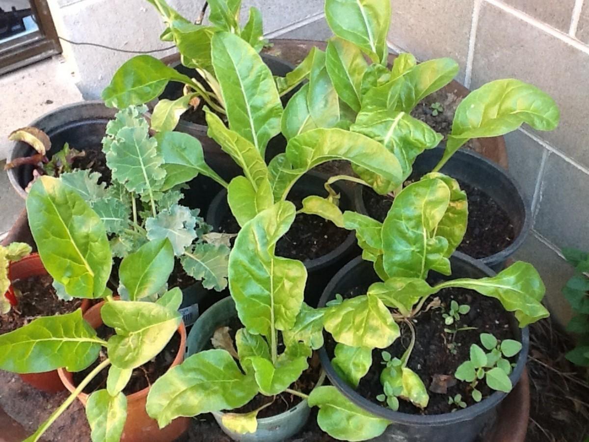 Front yard vegetables in pots