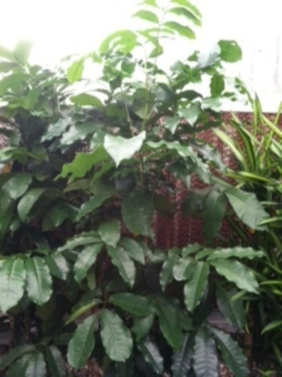 Caring for a Natal Mahogany Plant (Trichilia Emetica)