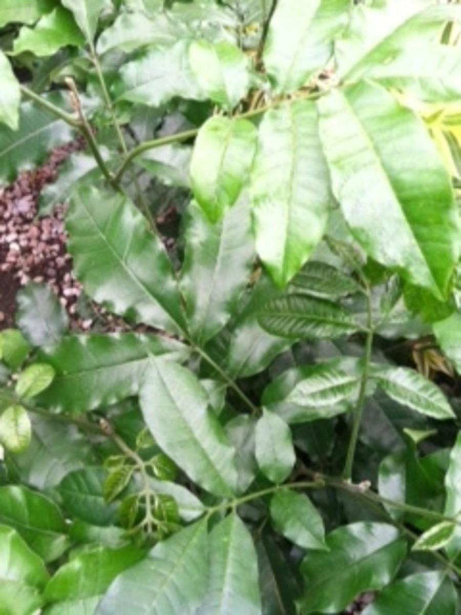 caring-for-a-mahogany-plant