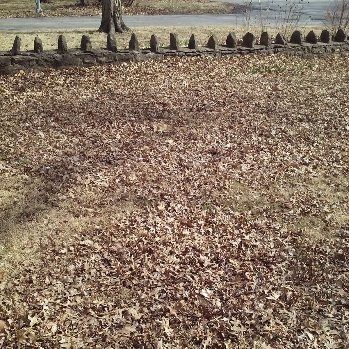 The retaining wall keeps the leaves from being blown away.  Under those leaves are irises.