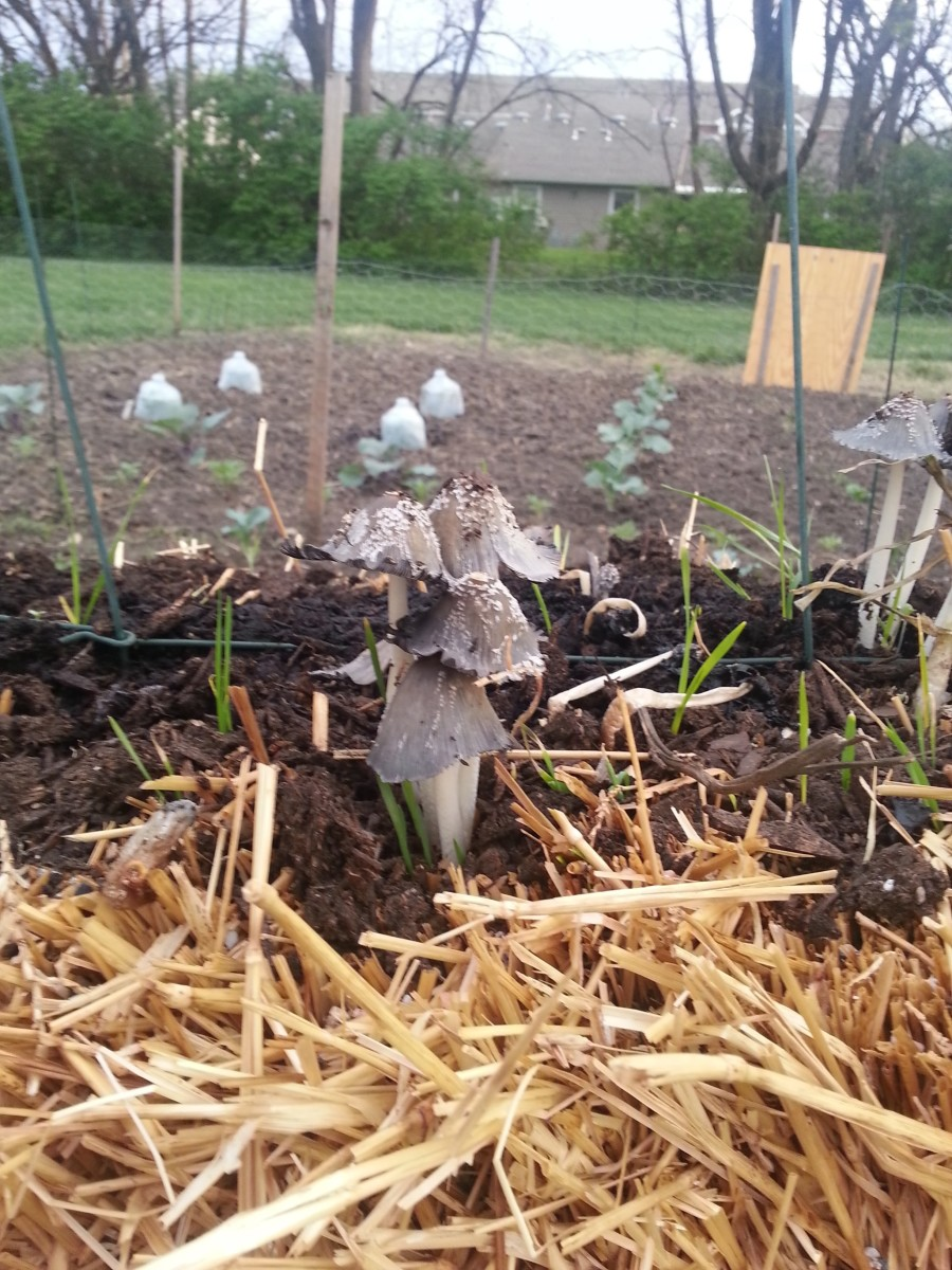 While these mushrooms are not edible, their growth shows the soil condition is perfect for growing.