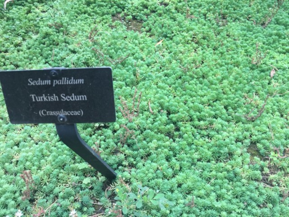 Turkish Sedum, or Sedum Pallidum, is a common ground cover used in rock gardens or Japanese gardens.