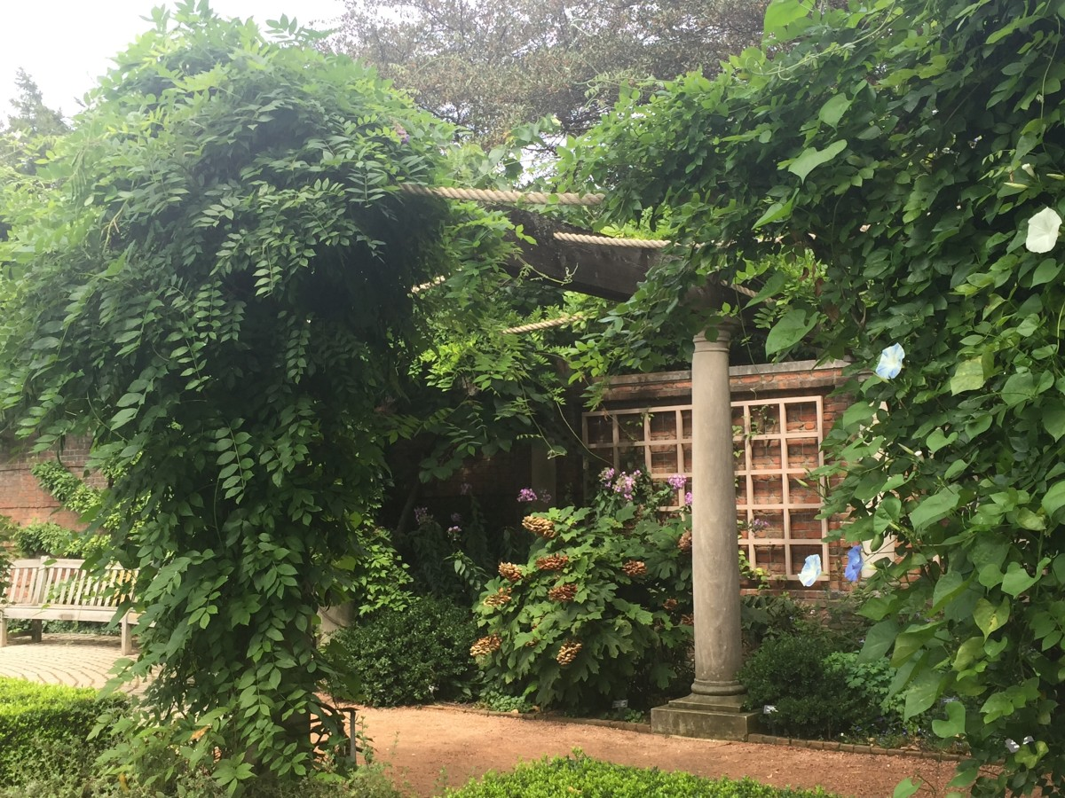 A Kentucky Wisteria variety grows over an arbor in the English Walled Gardens at the Chicago Botanic Gardens. This photo was taken in late August, when blooming has finished for the season.