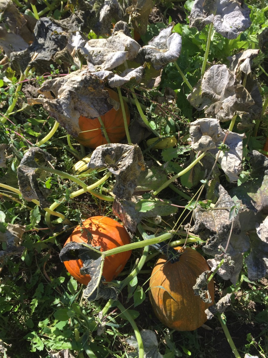 How to Deal With Frost on Your Pumpkin Patch