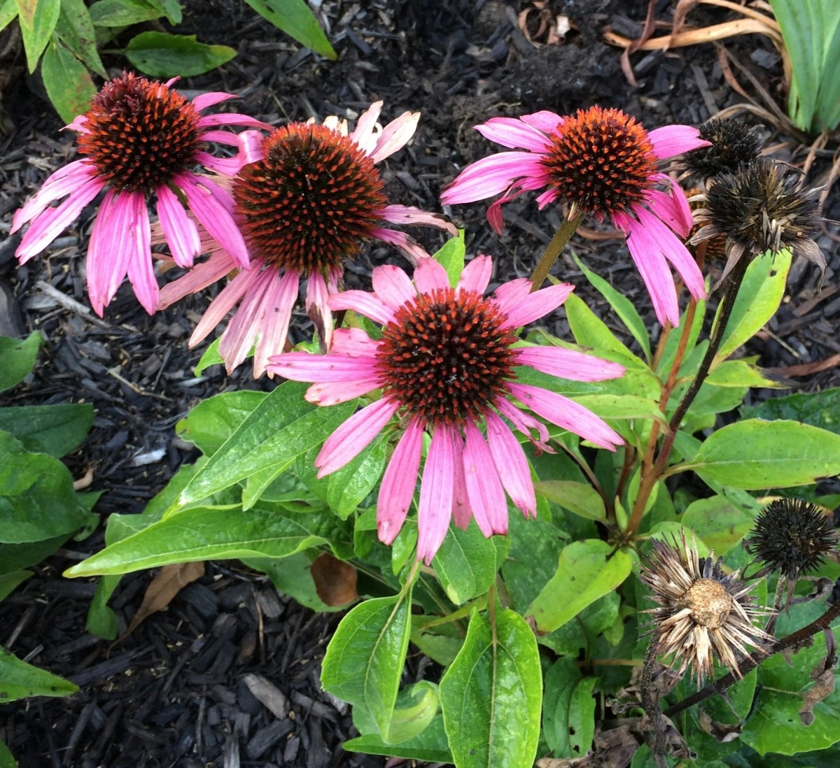 Purple Coneflower starts to go to seed as seen in lower right.