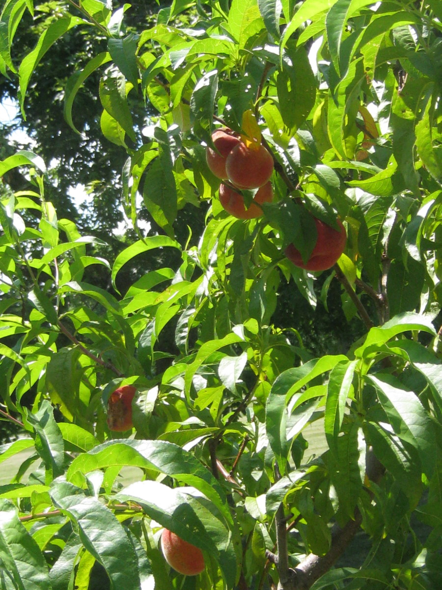 Too many fruits will weigh down branches and cause other peaches to grow small, become diseased, and misshapen.