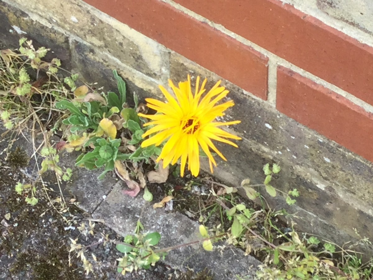 growing-calendula-from-a-crack-in-the-pavement