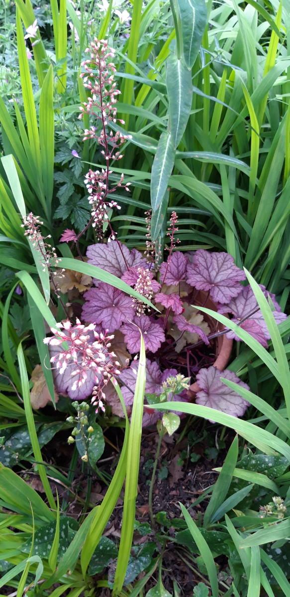 Heuchera With Purple Leaves