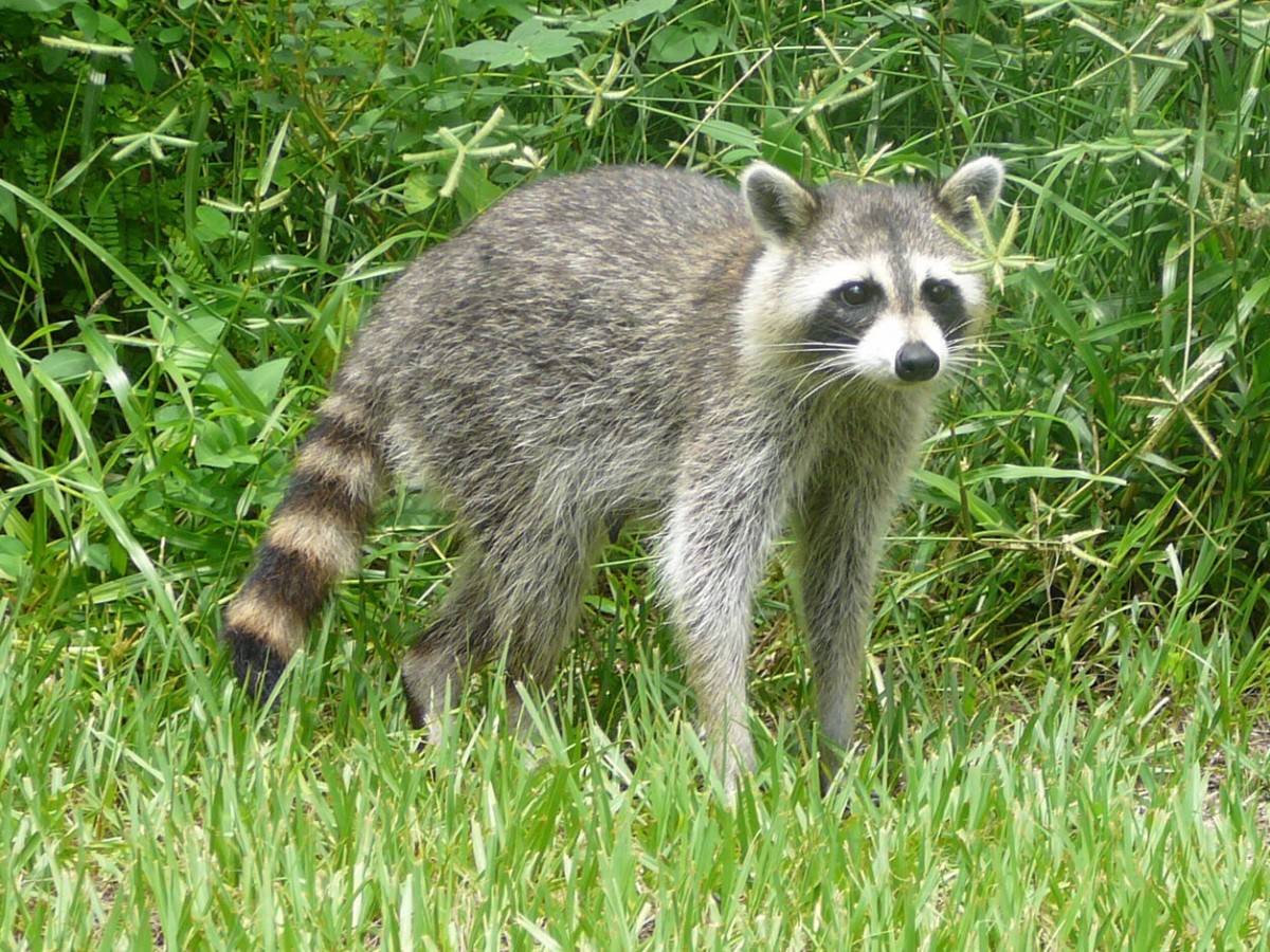 Unfortunately, raccoons can suffer from both feline and canine distemper. These diseases are caused by different viruses.
