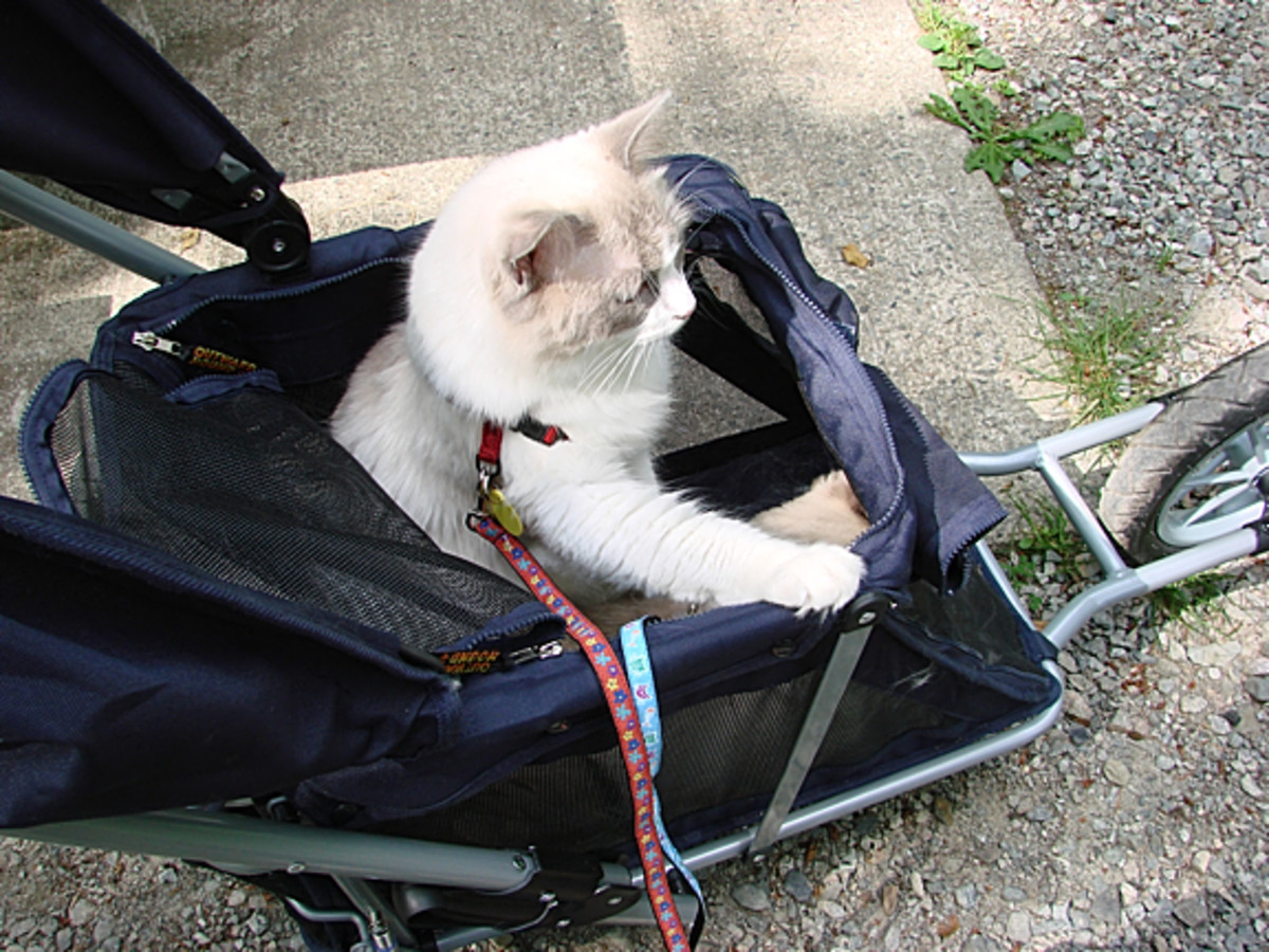 A cat with cerebellar hypoplasia will need to be protected when out of the house, as my healthy cat is here.