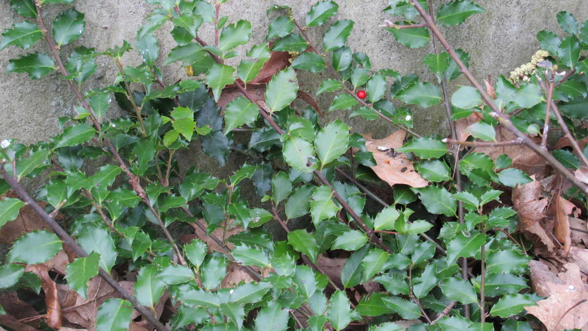 Holly bush provides lots of nooks and crannies in which to shelter and hide.  It also has tasty berries birds love to eat.