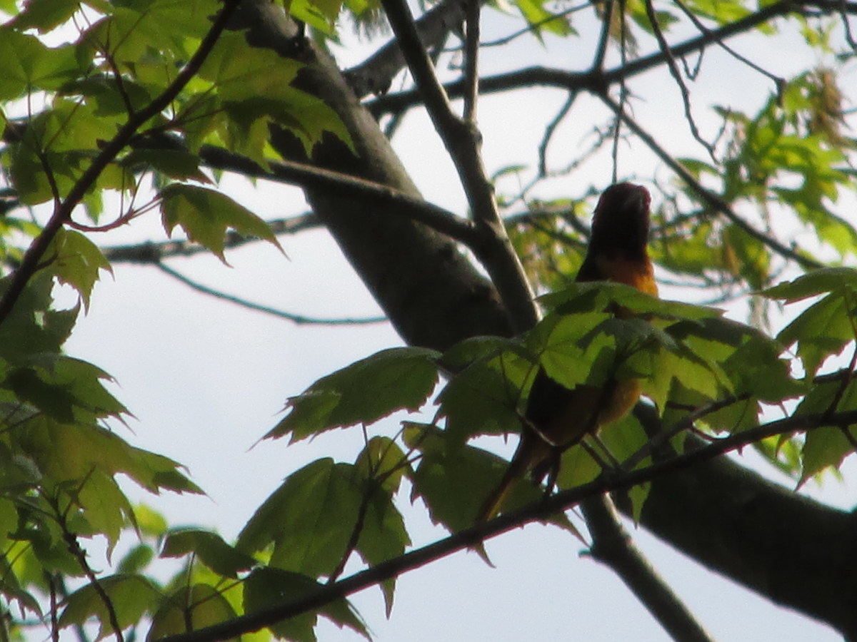 Male Northern Oriole stretching tall to get a better view of his territory!