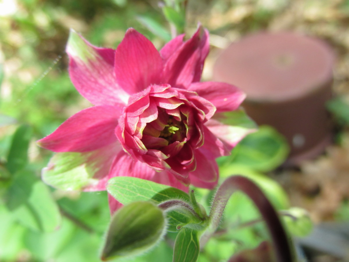 Red Columbines attract all kinds of nectar-loving birds, including orioles and hummingbirds.
