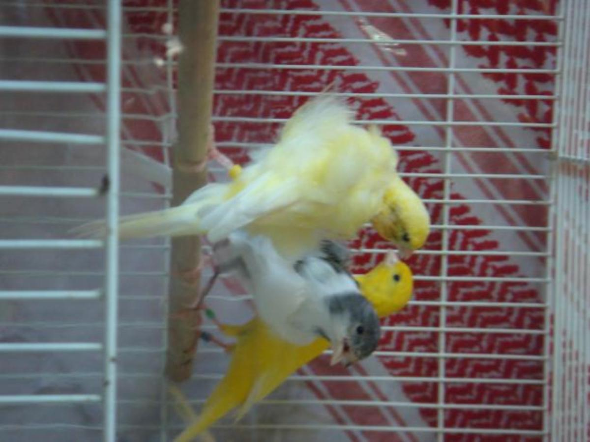 Signs and Symptoms of Disease in Canaries   PetHelpful
