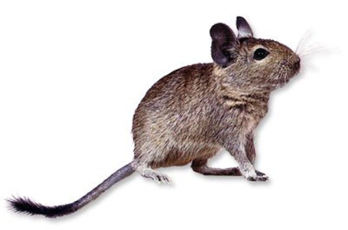 Degus have been used for many years in laboratory research looking into the effects of diabetes and cataracts. These animals have a natural sensitivity to sugar and can easily become diabetic in a pet home where too many treats are given.
